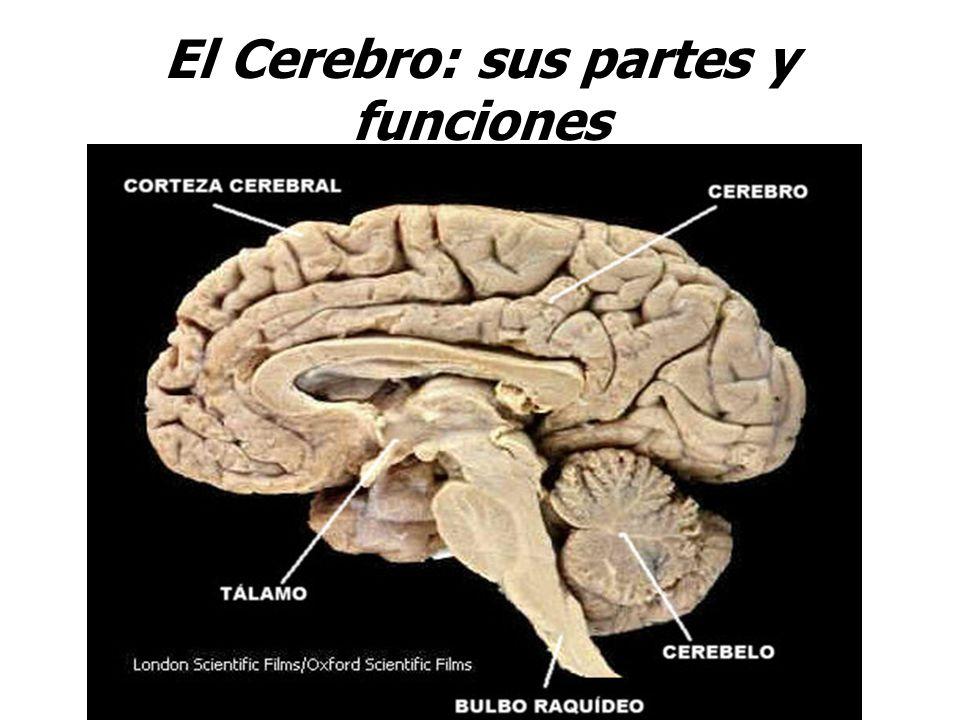 El Cerebro: sus partes y funciones