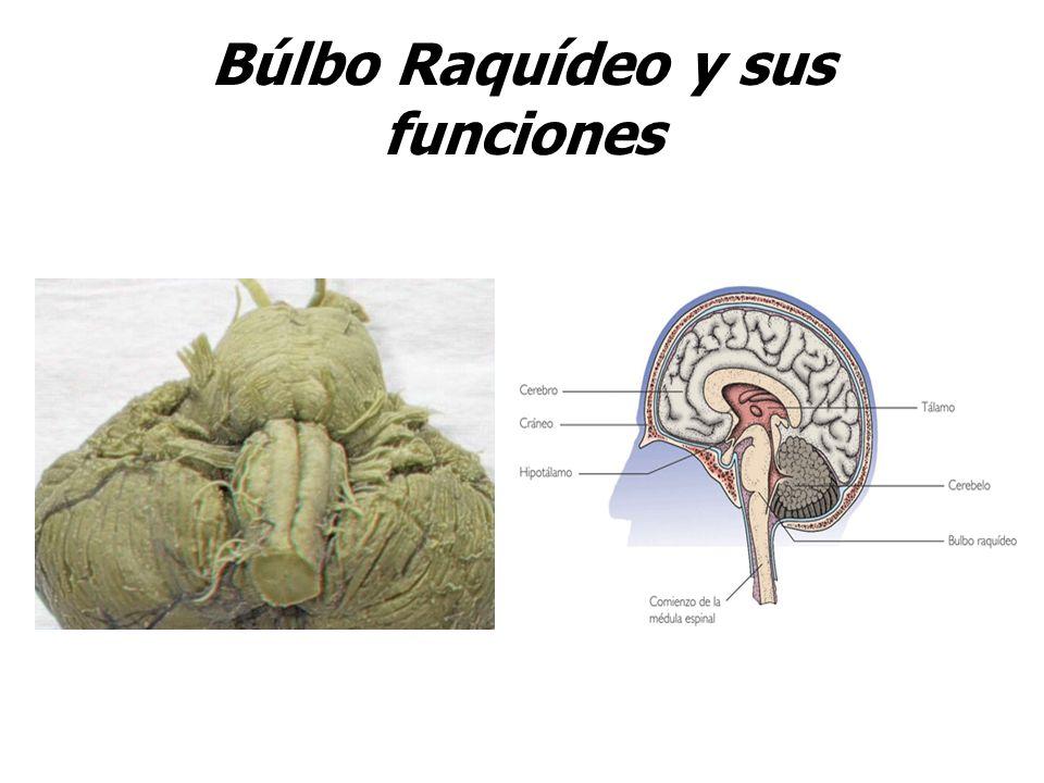 Búlbo Raquídeo y sus funciones
