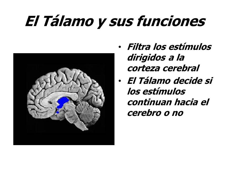 El Tálamo y sus funciones