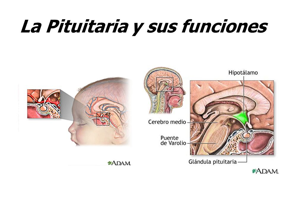 La Pituitaria y sus funciones