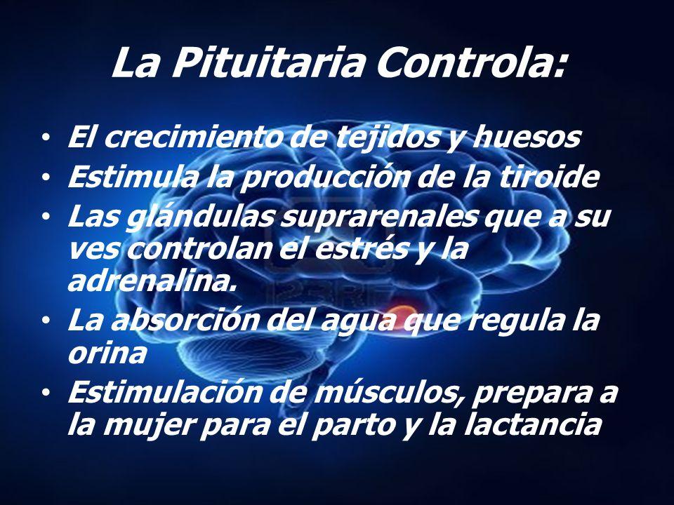 La Pituitaria Controla: