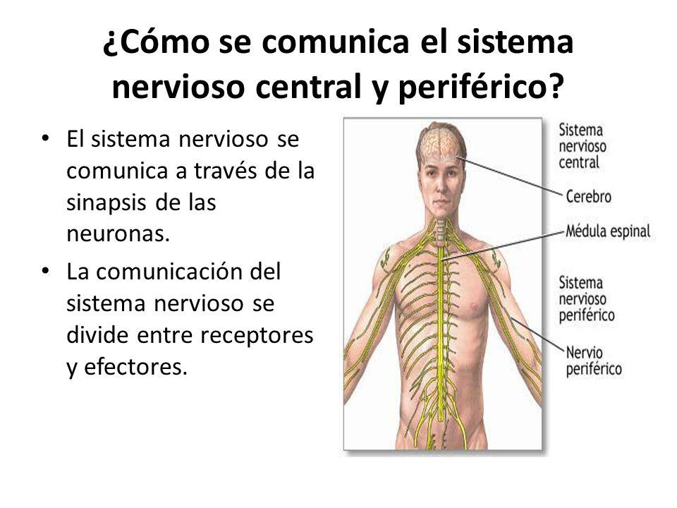 ¿Cómo se comunica el sistema nervioso central y periférico
