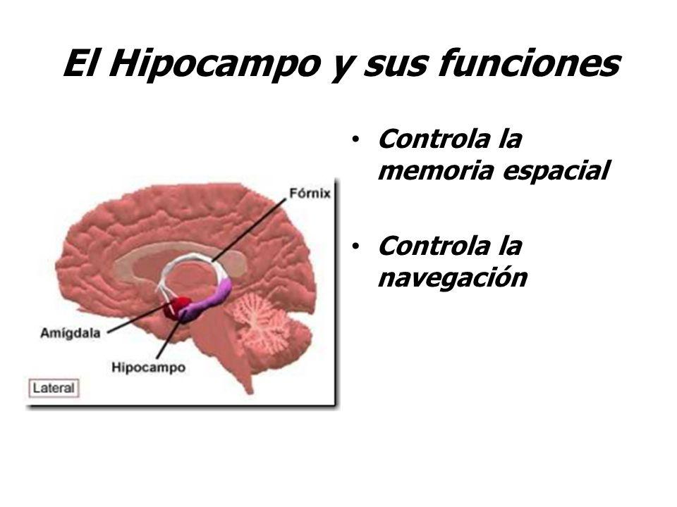 El Hipocampo y sus funciones