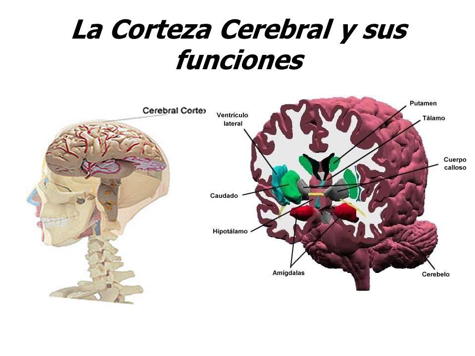 La Corteza Cerebral y sus funciones