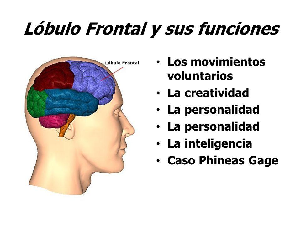 Lóbulo Frontal y sus funciones