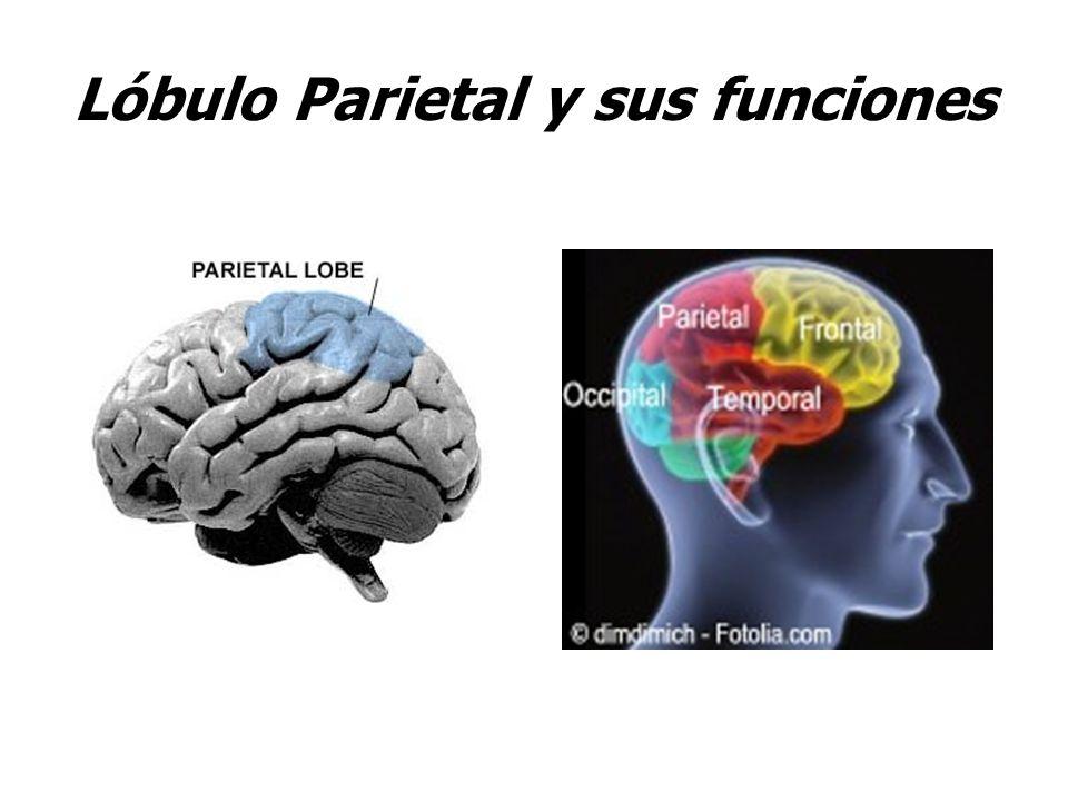 Lóbulo Parietal y sus funciones