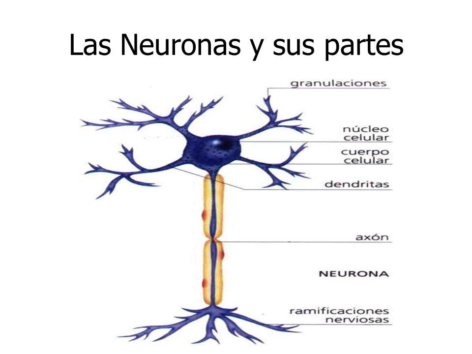 Las Neuronas y sus partes