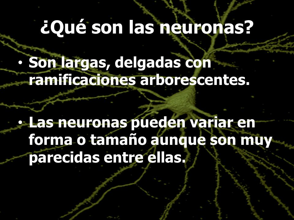 ¿Qué son las neuronas Son largas, delgadas con ramificaciones arborescentes.