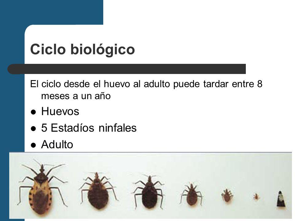 Ciclo biológico Huevos 5 Estadíos ninfales Adulto