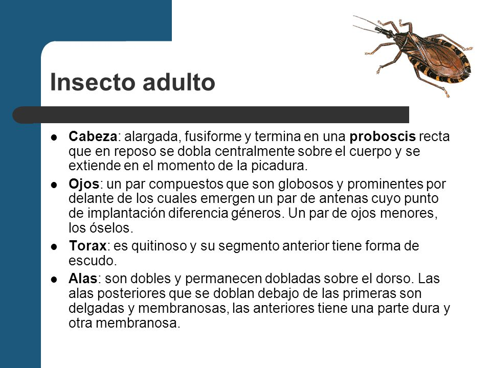 Insecto adulto