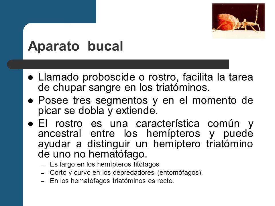 Aparato bucal Llamado proboscide o rostro, facilita la tarea de chupar sangre en los triatóminos.