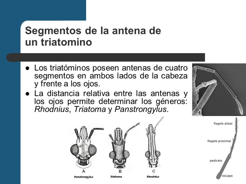 Segmentos de la antena de un triatomino