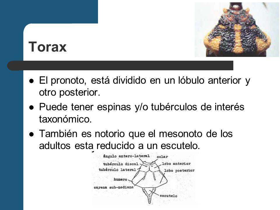 Torax El pronoto, está dividido en un lóbulo anterior y otro posterior. Puede tener espinas y/o tubérculos de interés taxonómico.