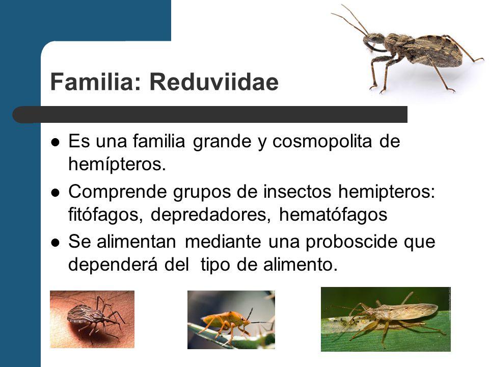 Familia: Reduviidae Es una familia grande y cosmopolita de hemípteros.
