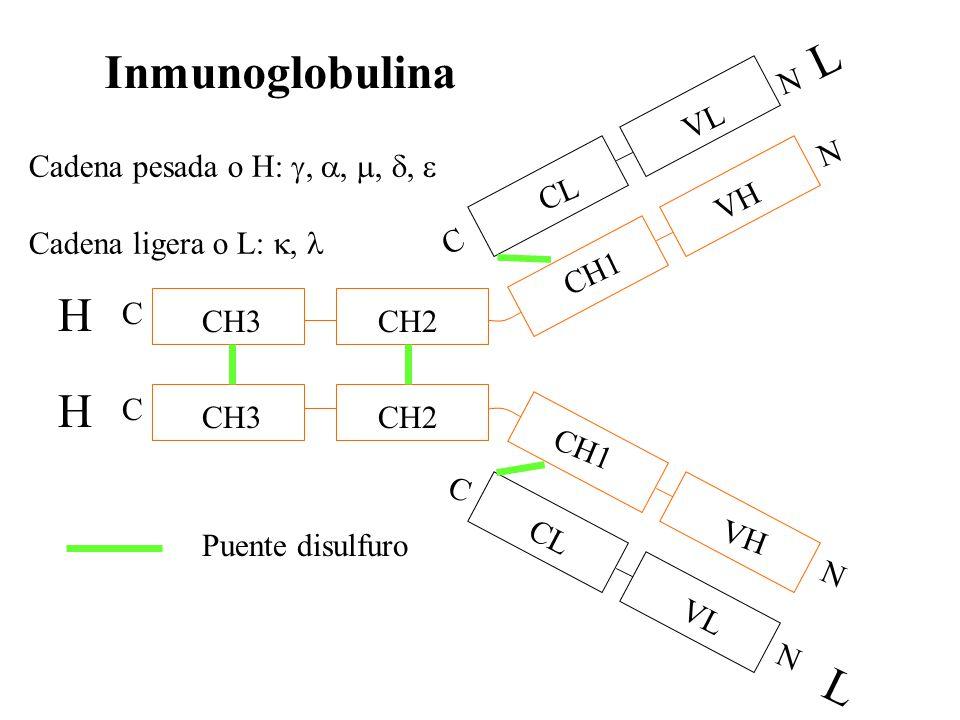 L Inmunoglobulina H H L N VL N Cadena pesada o H: g, a, m, d, e