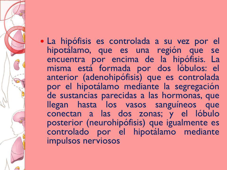 La hipófisis es controlada a su vez por el hipotálamo, que es una región que se encuentra por encima de la hipófisis.