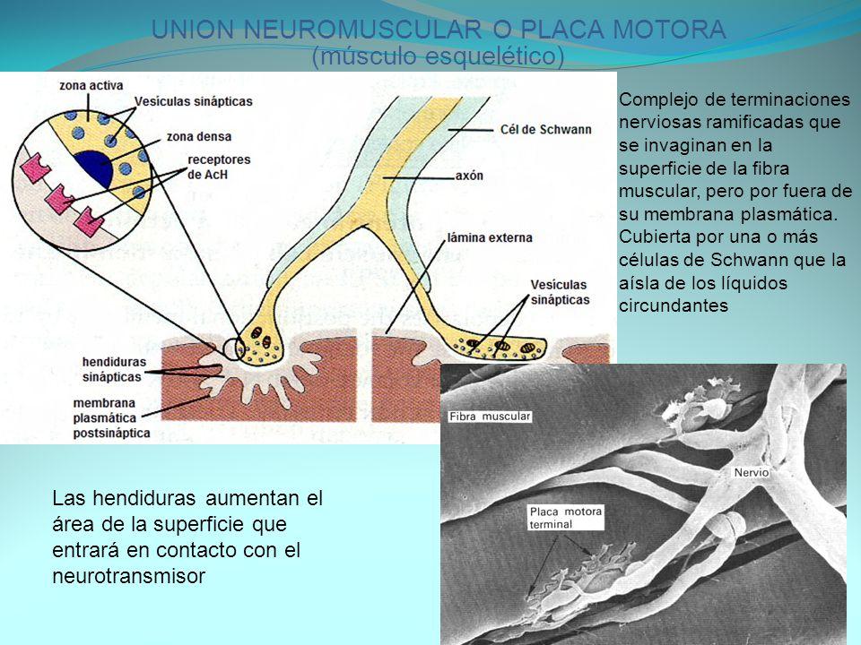 UNION NEUROMUSCULAR O PLACA MOTORA (músculo esquelético)