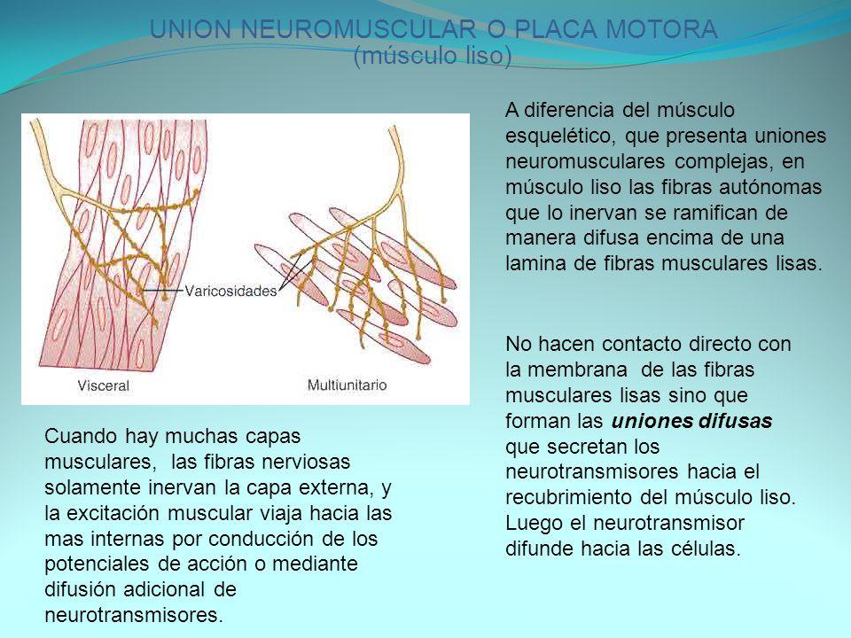 UNION NEUROMUSCULAR O PLACA MOTORA (músculo liso)