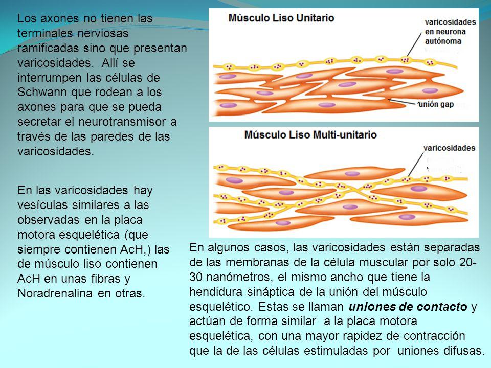 Los axones no tienen las terminales nerviosas ramificadas sino que presentan varicosidades. Allí se interrumpen las células de Schwann que rodean a los axones para que se pueda secretar el neurotransmisor a través de las paredes de las varicosidades.