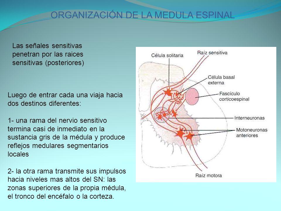ORGANIZACIÓN DE LA MEDULA ESPINAL