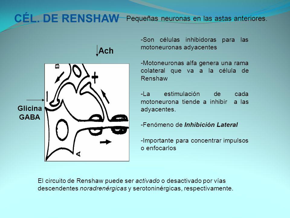 CÉL. DE RENSHAW Ach Pequeñas neuronas en las astas anteriores. Glicina