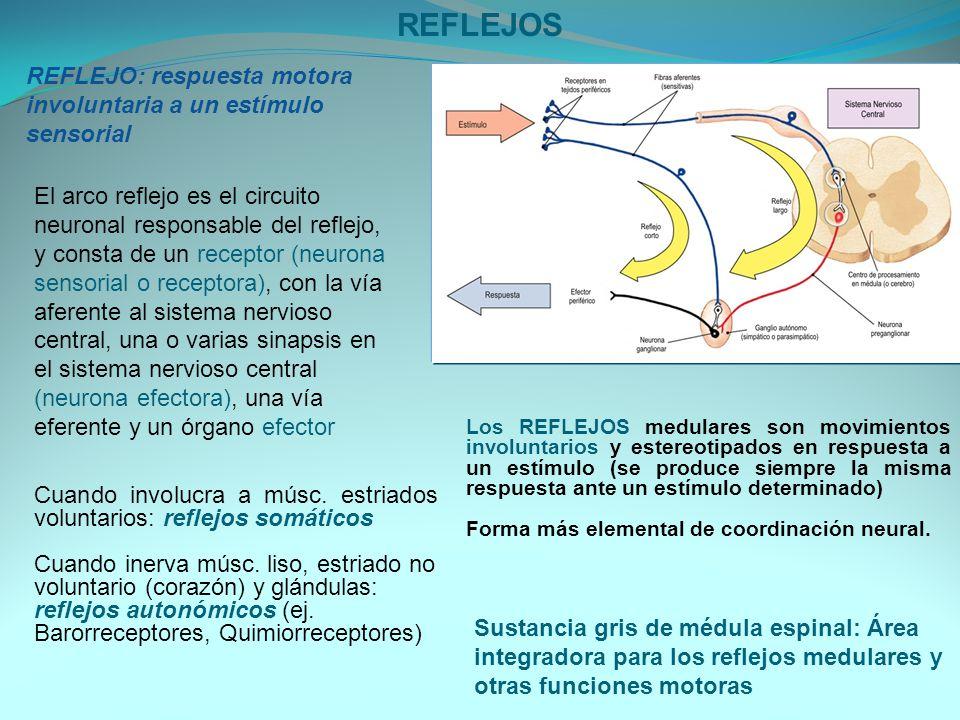 REFLEJOS REFLEJO: respuesta motora involuntaria a un estímulo sensorial.