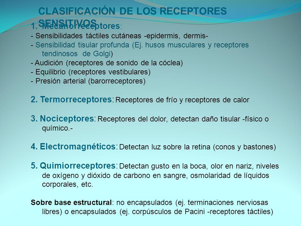 CLASIFICACIÓN DE LOS RECEPTORES SENSITIVOS