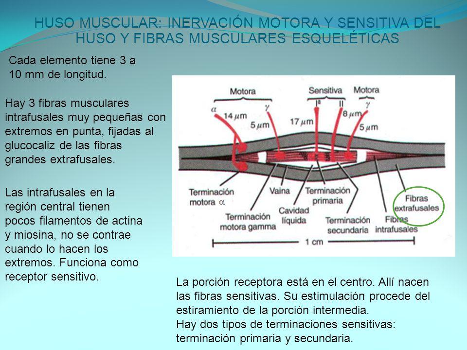 HUSO MUSCULAR: INERVACIÓN MOTORA Y SENSITIVA DEL HUSO Y FIBRAS MUSCULARES ESQUELÉTICAS