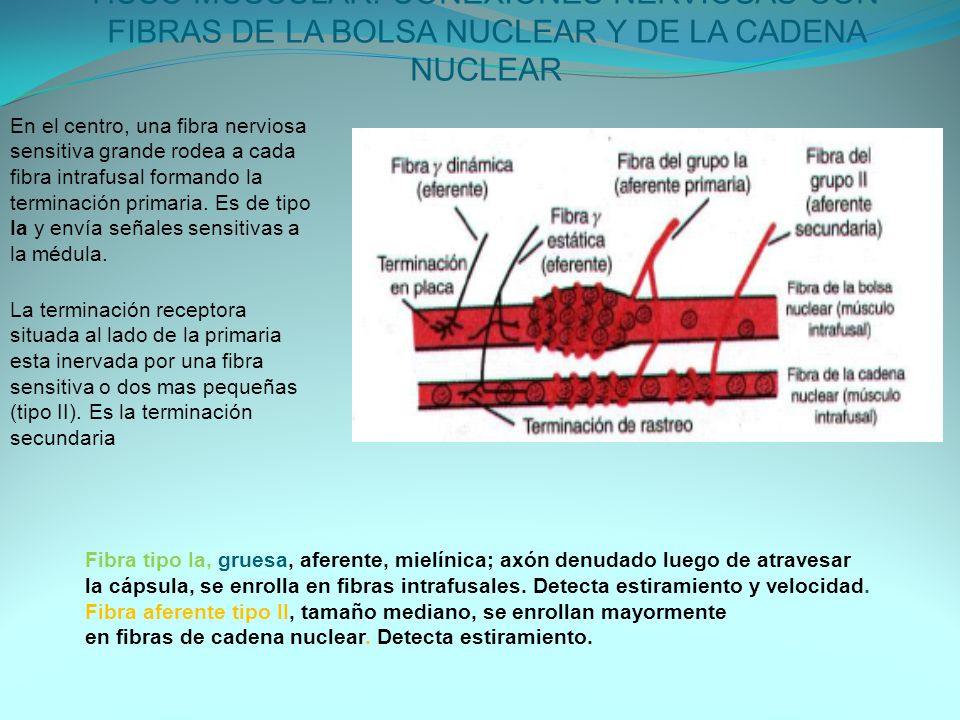 HUSO MUSCULAR: CONEXIONES NERVIOSAS CON FIBRAS DE LA BOLSA NUCLEAR Y DE LA CADENA NUCLEAR