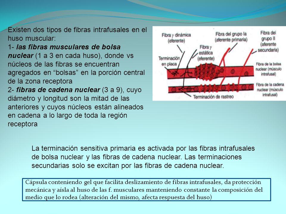 Existen dos tipos de fibras intrafusales en el huso muscular: