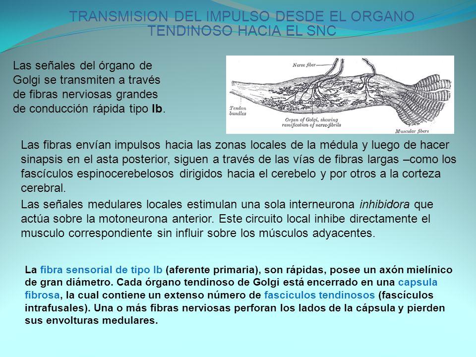 TRANSMISION DEL IMPULSO DESDE EL ORGANO TENDINOSO HACIA EL SNC