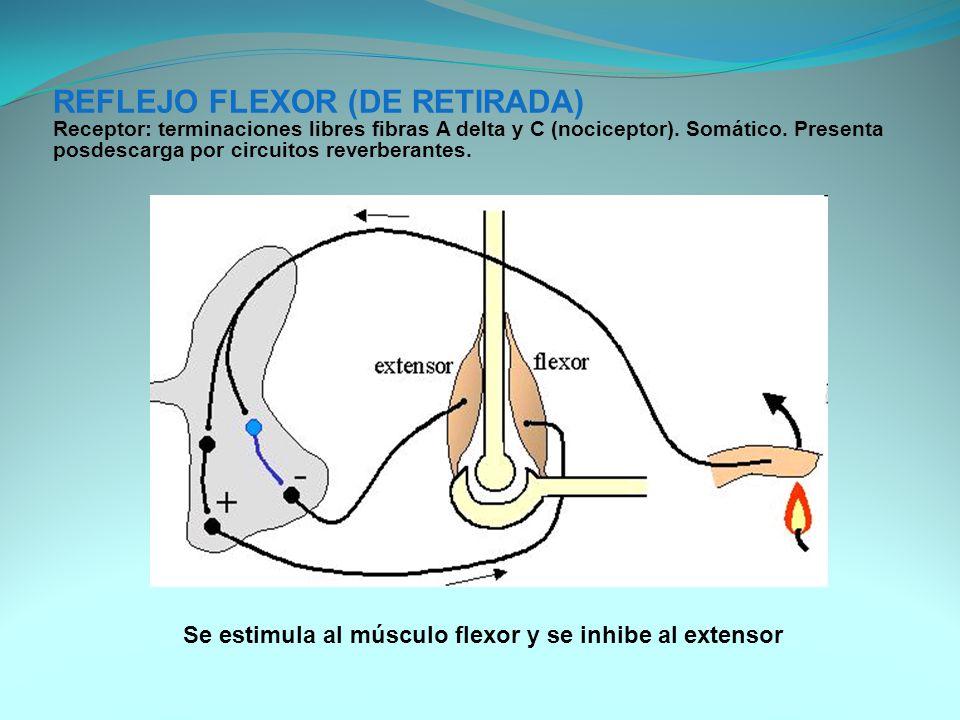 Se estimula al músculo flexor y se inhibe al extensor