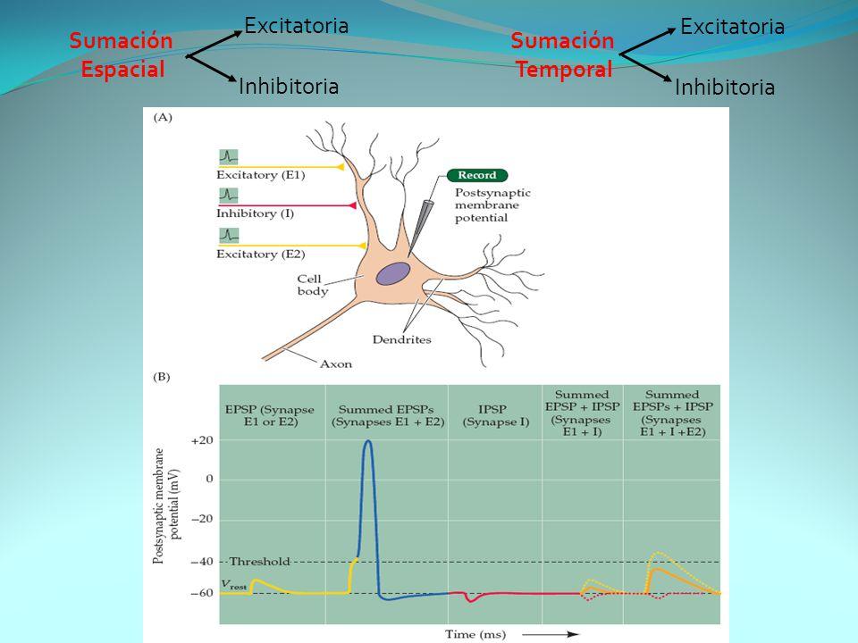 Excitatoria Excitatoria Sumación Espacial Sumación Temporal Inhibitoria Inhibitoria