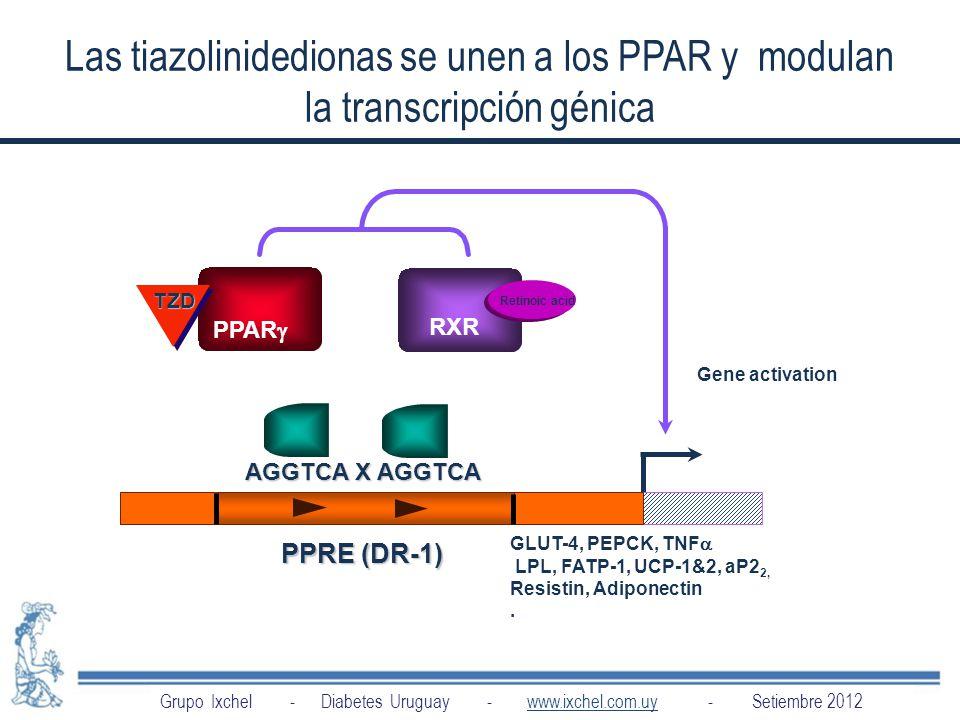 Las tiazolinidedionas se unen a los PPAR y modulan la transcripción génica