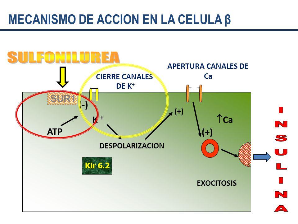 SULFONILUREA MECANISMO DE ACCION EN LA CELULA β SUR1 (-) K + Ca ATP