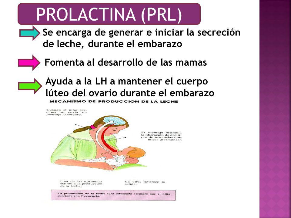 PROLACTINA (PRL) Se encarga de generar e iniciar la secreción de leche, durante el embarazo. Fomenta al desarrollo de las mamas.