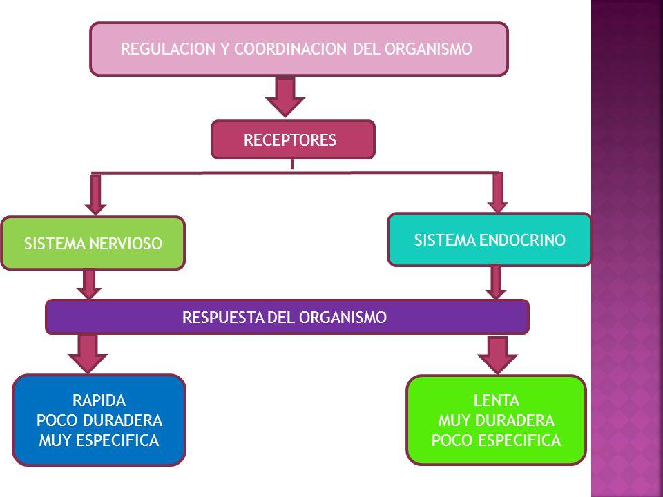 REGULACION Y COORDINACION DEL ORGANISMO