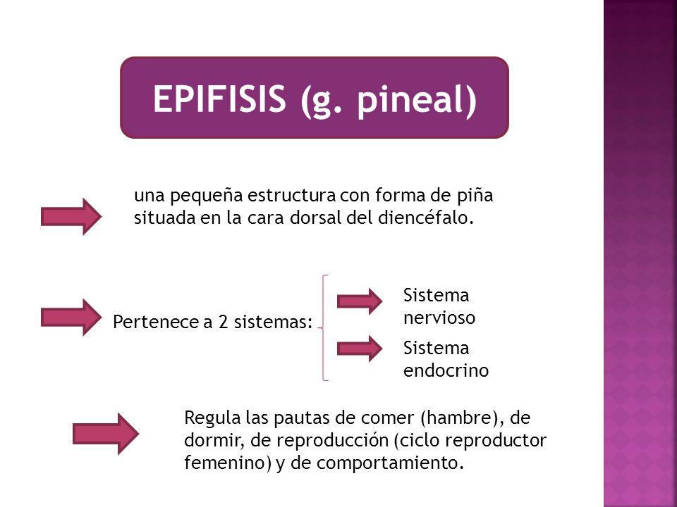 EPIFISIS (g. pineal) una pequeña estructura con forma de piña situada en la cara dorsal del diencéfalo.