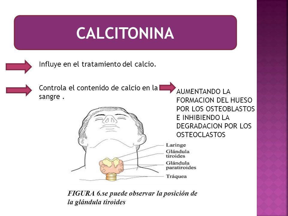 CALCITONINA Influye en el tratamiento del calcio.