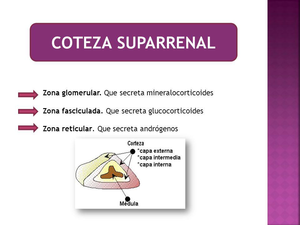 COTEZA SUPARRENAL Zona glomerular. Que secreta mineralocorticoides