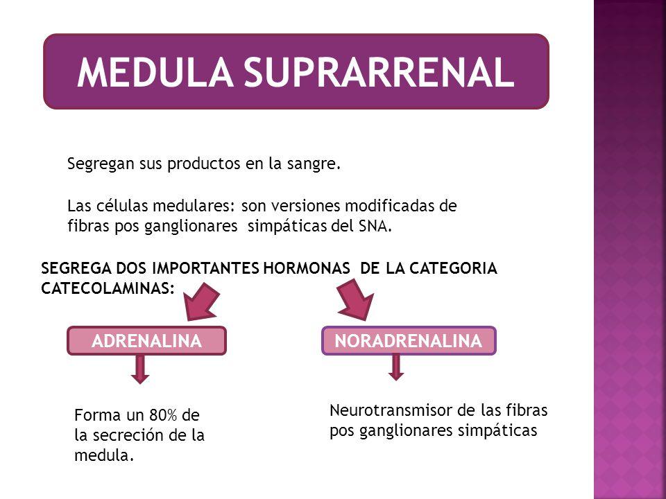 MEDULA SUPRARRENAL ADRENALINA NORADRENALINA