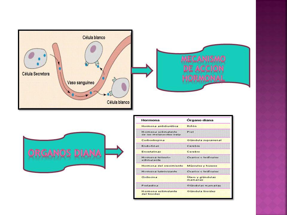 MECANISMO DE ACCION HORMONAL ORGANOS DIANA