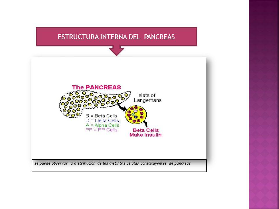 ESTRUCTURA INTERNA DEL PANCREAS