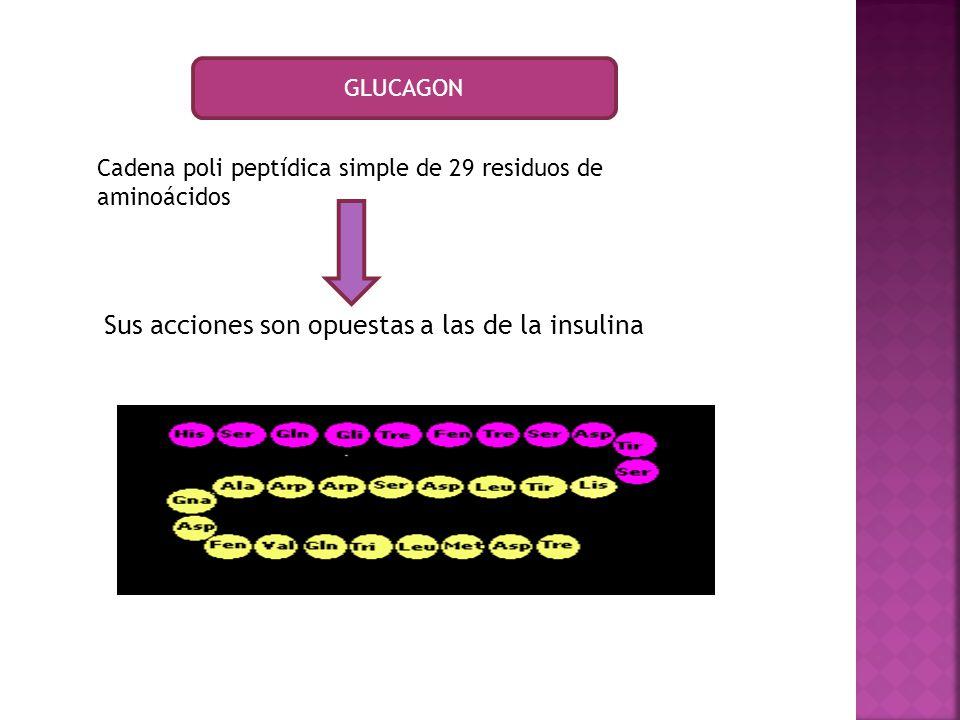 Sus acciones son opuestas a las de la insulina