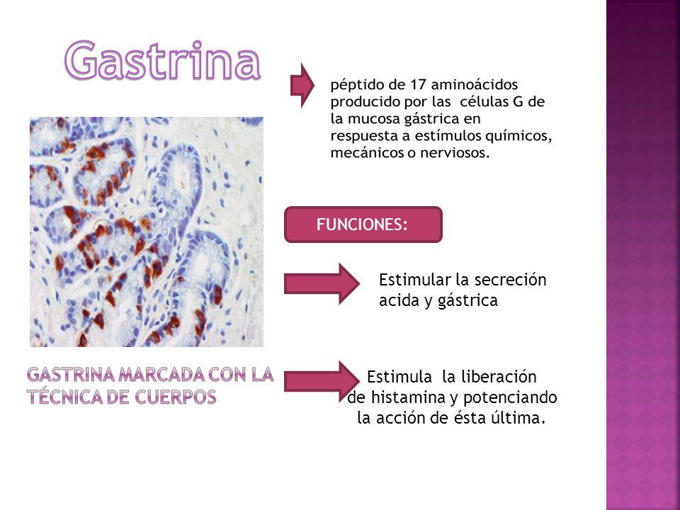 Gastrina FUNCIONES: Estimular la secreción acida y gástrica
