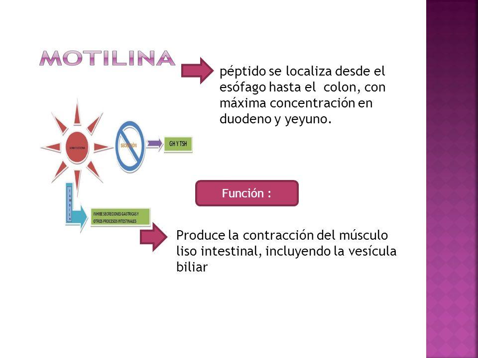 péptido se localiza desde el esófago hasta el colon, con máxima concentración en duodeno y yeyuno.