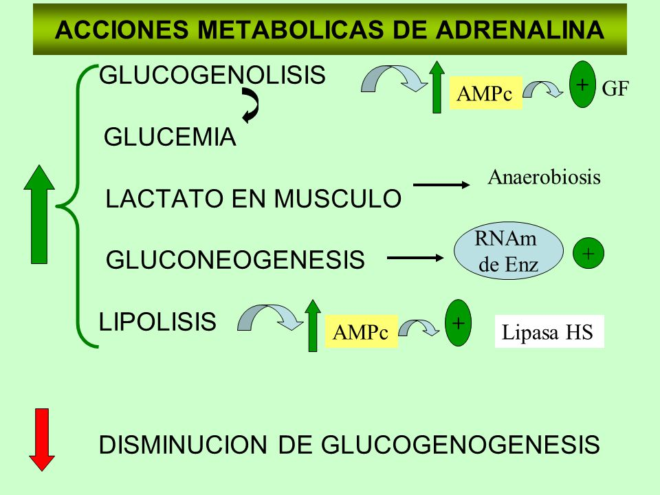 ACCIONES METABOLICAS DE ADRENALINA