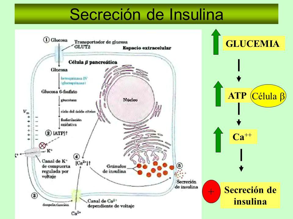 Secreción de Insulina + GLUCEMIA Célula b ATP Ca++