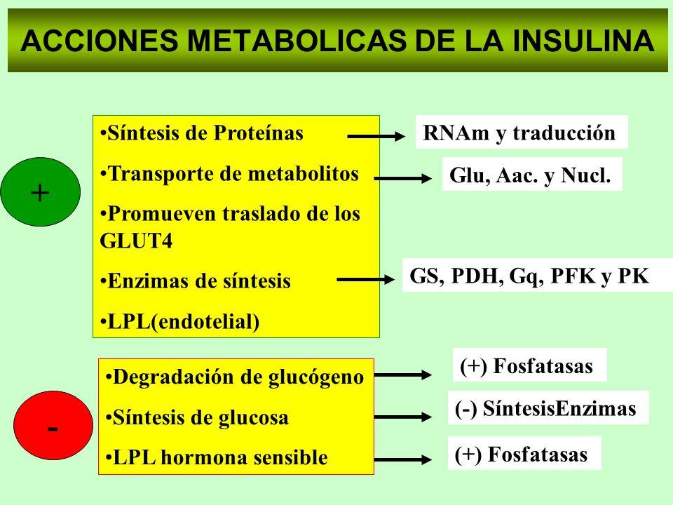 ACCIONES METABOLICAS DE LA INSULINA