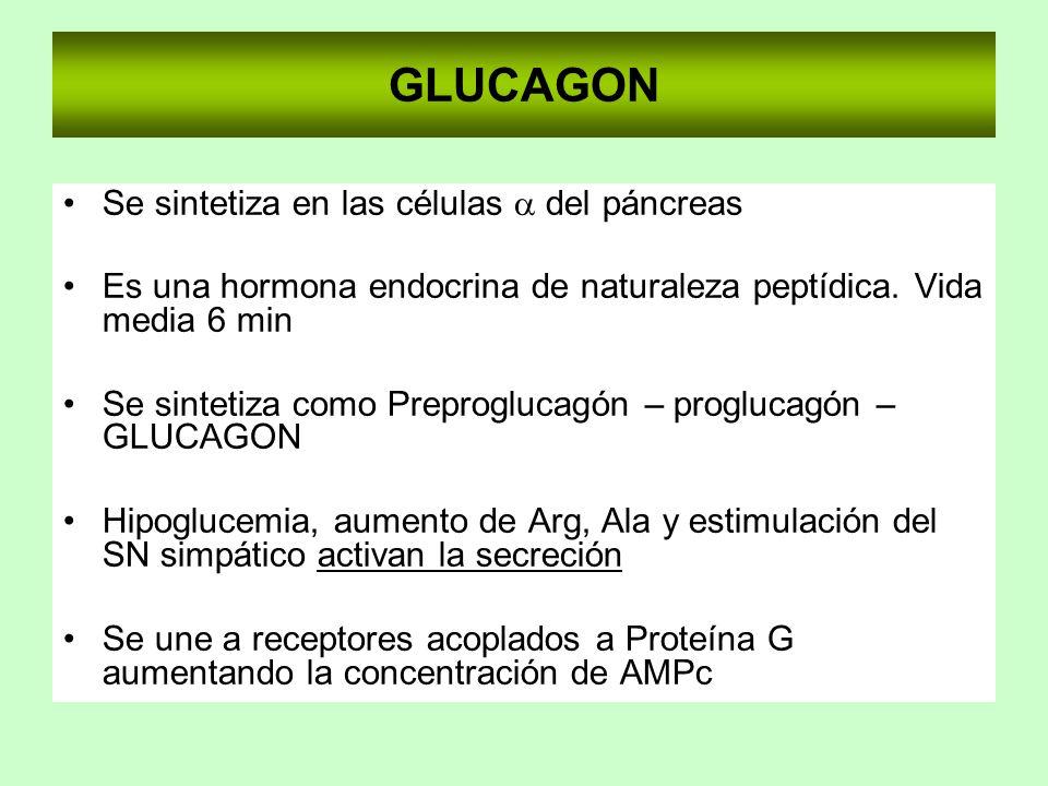 GLUCAGON Se sintetiza en las células a del páncreas